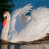 Male Mute Swan, territorial display