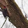 Pileated Woodpecker in Yard