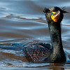 Double Crested Cormorant, breeding plumage