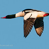 Common Merganser Male (and faster than a speeding bullet...)