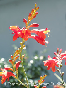 Crocosmia, July 2009