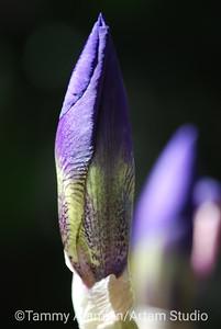 Iris bud, Apr. 2010
