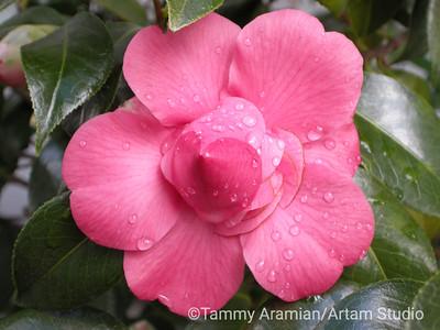 Camellia, Feb. 2010