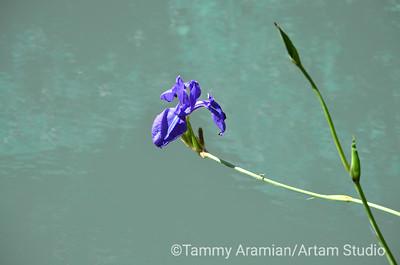 Iris over water, June 2016