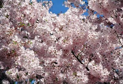 Cherry blossoms, April 1999