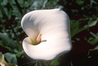 Calla lily, Sutro Park, San Francisco, April 2000