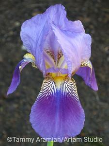 Iris, Apr. 2010