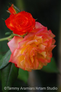 Miniature roses, May 2009