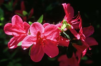 azaleas, April 2000