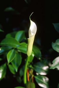 Calla lily, May 1999