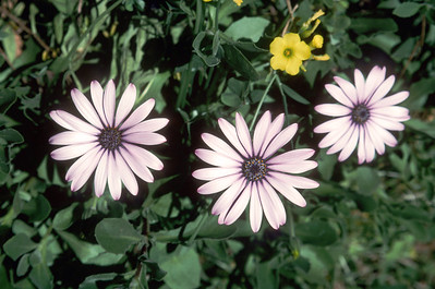 African Daisies, Sutro Park, San Francisco, April 2000