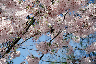 Cherry blossoms and hummingbird, April 1999