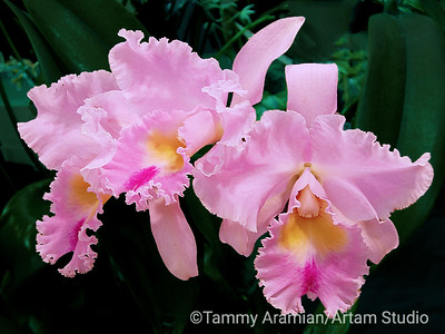Frilly pink orchid, Jan. 2009