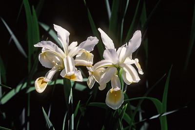 wild iris, May 1999