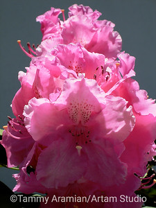 Deep pink rhododendrons, May 2007