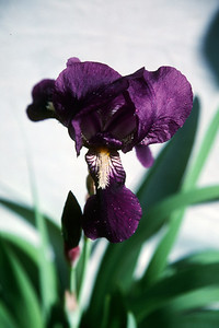 deep purple iris, April 2000