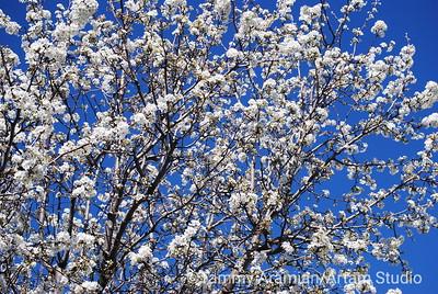 Cherry tree in bloom, Mar. 2010