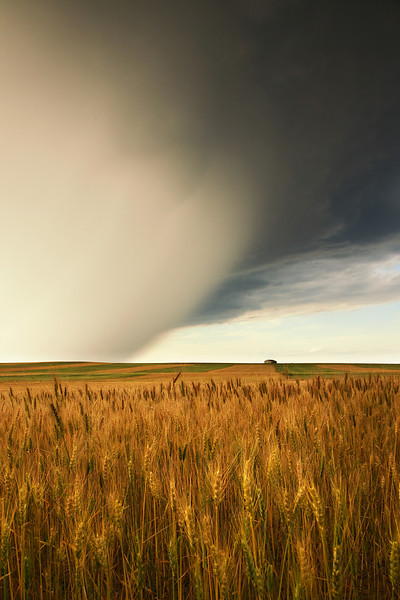 Wheat Field and Summer Storm<br /> Outside of Billings, Montana