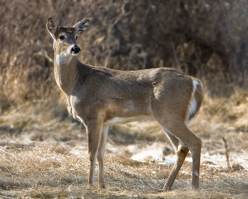 Whitetail Deer<br /> Two Moon Park, Billings