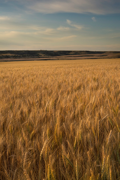 Montana Wheat Field II