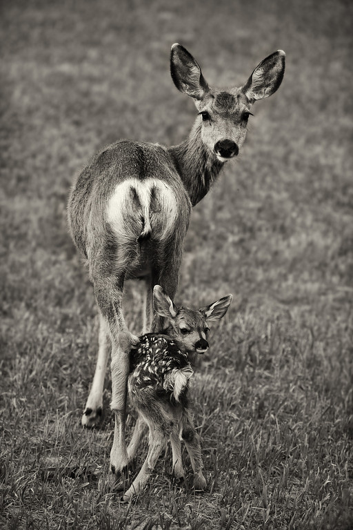 A 2 day old mule deer fawn follows it's mother's gaze (B&W)