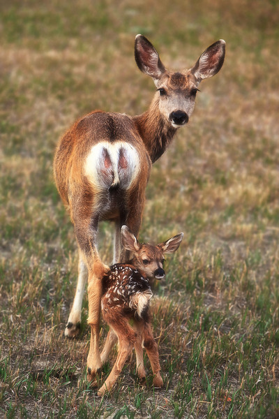 A 2 day old mule deer fawn follows it's mother's gaze (soft focus filter)