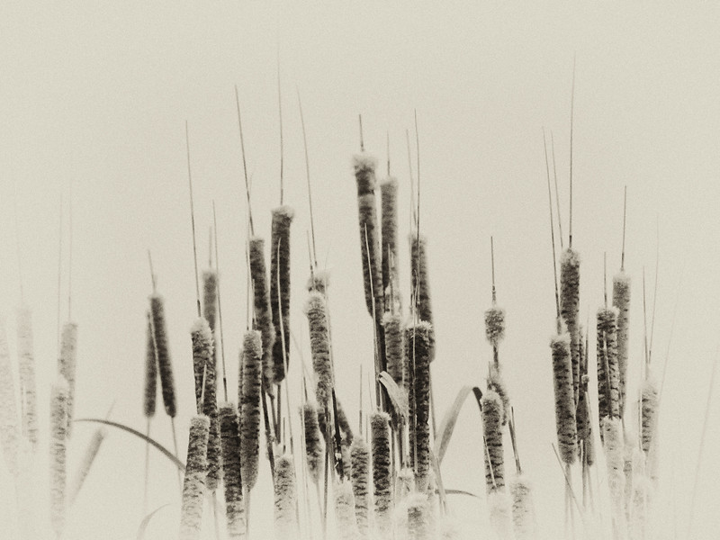 Cattails<br /> Lake Elmo State Park, MT