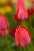 Tulips #1<br /> Lensbaby