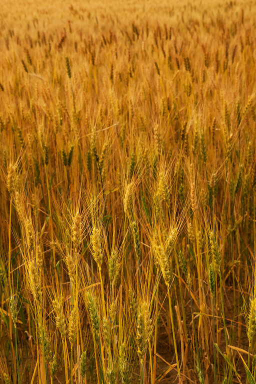 Wheat Detail II, Billings, MT