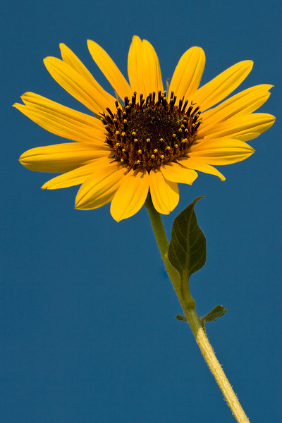 Sunflower and Blue Sky