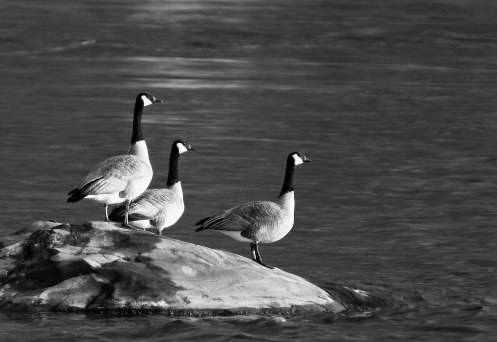 Watching - Canada geese on the Yellowstone River<br /> Billings, MT