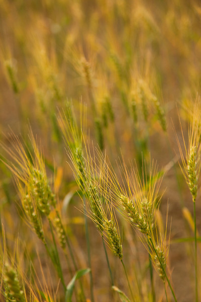 Wheat Detail, Billings, MT