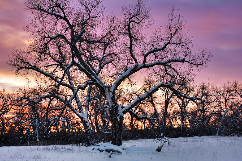 More Snow Covered Cottonwoods at Sunrise<br /> Two Moon Park, Billings