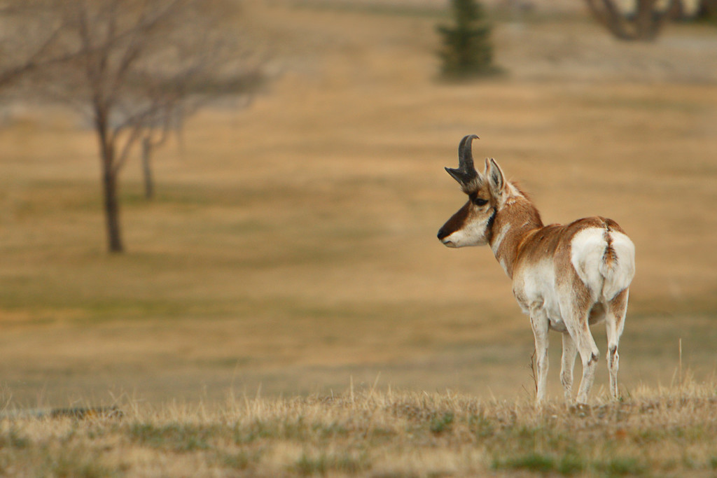 Watchful Eye - Pronghorn Buck