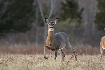 Deer, Wallkill, NY