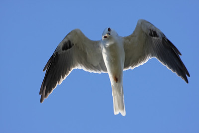 White tailed kite in Connecticut!