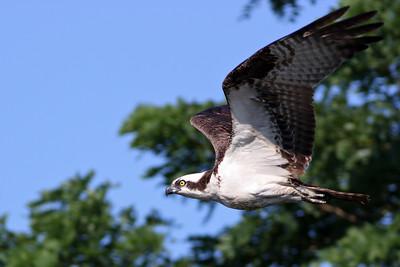Osprey Westport, CT