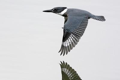 Belted Kingfisher Westport, CT