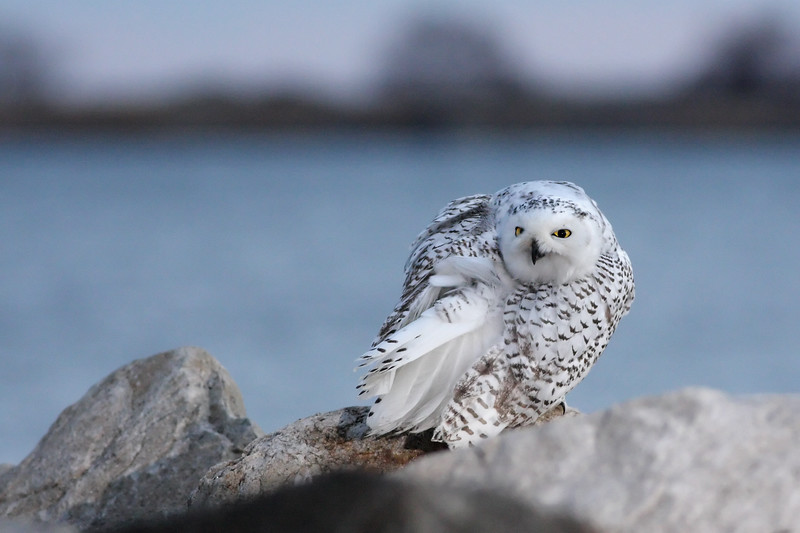 Snowy owl, Norwalk, CT