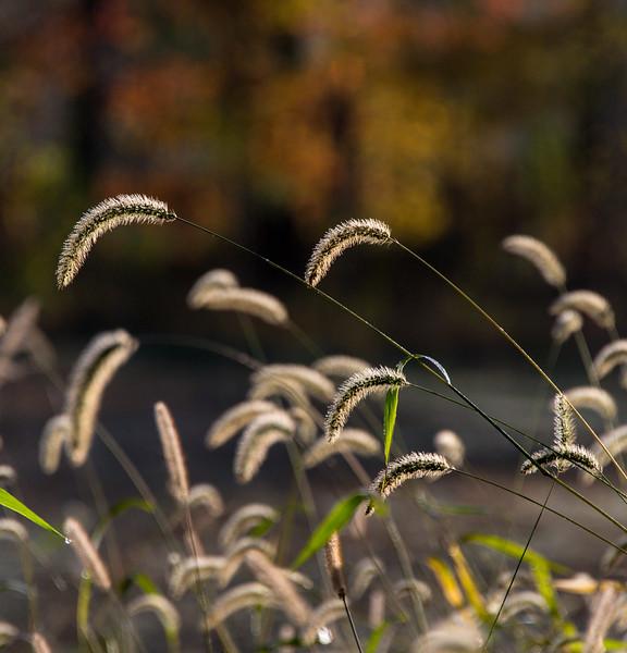 grain seed heads, gressard lake