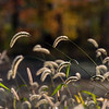 grain seed heads, gressard lake