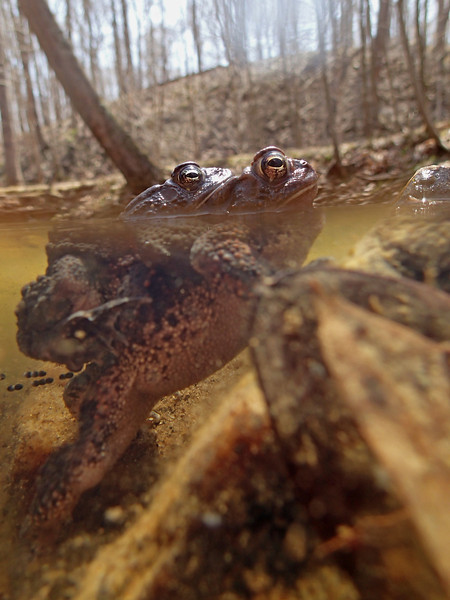 Coming up for air, toads in amplexus, Prince William Forest Park, Va.  April 2013.  Note the eggs being released by the female.