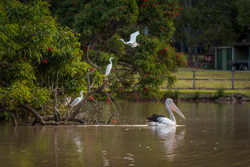 Pelican and birds on pond
