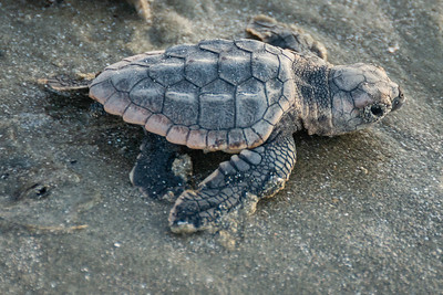 Loggerhead Turtles