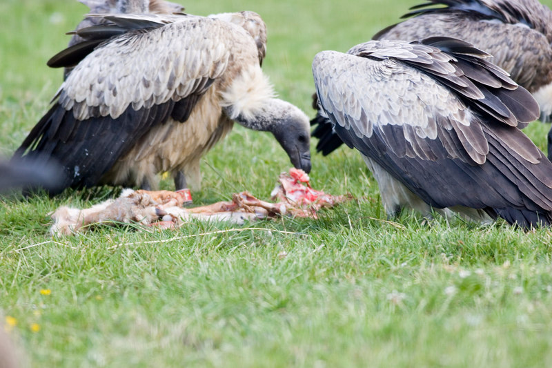 vulture on carcass