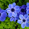 ~Blue Poppy Anemones~