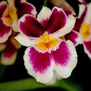 Longwood Orchid Festival