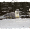 Red-throated Loon - March 4, 2013 - Moirs Mill Pond, Bedford, NS