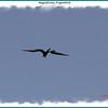 Magnificient Frigatebird - Hartlen Point, Eastern Passage, NS