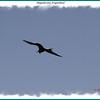 Magificient Frigatebird - Hartlen Point, Eastern Passage, NSn